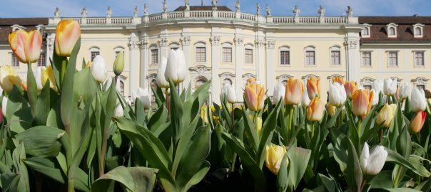 Blühendes Barock: Tulpen auf dem Kartoffelacker